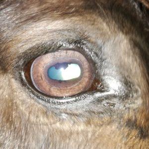 Pjakkur Erste Iris Diagnose 10.01.2020