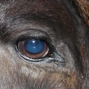 Mit diesem Foto am 03.04.2020 wird sichtbar wie das Karzinom kleiner wird. Die Größe der Iris ist nicht normal. In seinem fall könnte der Lichtstrahl der Kamera der Grund sein.